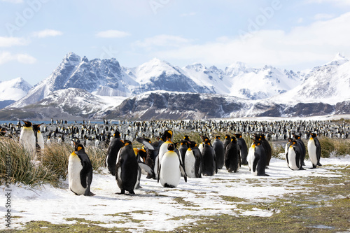 Tableau sur Toile A colony of king penguins on Salisbury Plain on South Georgia in Antarctica