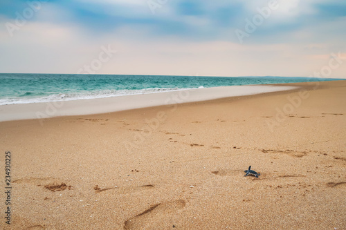 Obraz na plátne Happy baby sea turtle racing the last meters to the ocean, sri lanka