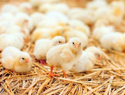 Indoors chicken farm, chicken feeding Fototapeta