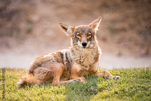 Fotografia A fearless wild coyote lays in the grass at a park in Los Angeles, Southern California, near sunset