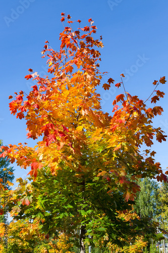 Autumn color foliage in small maple tree at sunny day