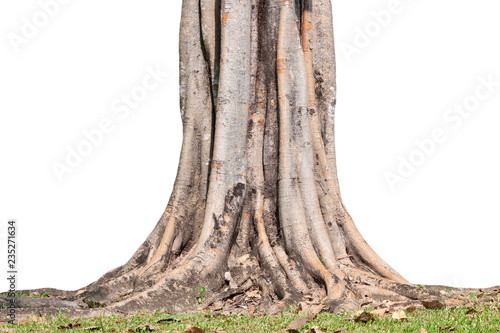 Canvas Print Roots of tree and trunk isolated on white background.