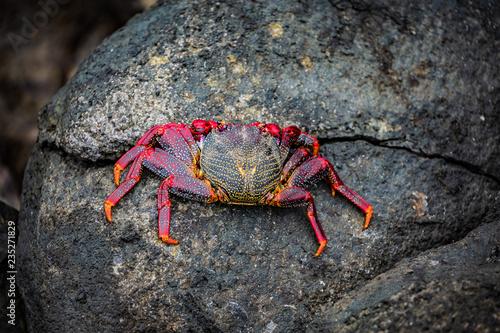 Red crab on black volcanic rock.