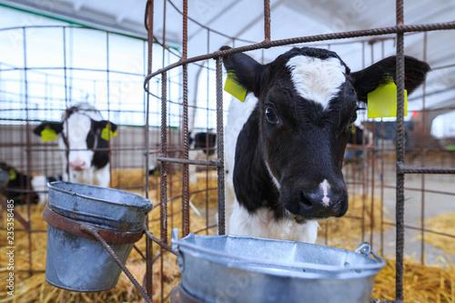 Foto Cute little calf in individual enclosure. Nursery on a farm.