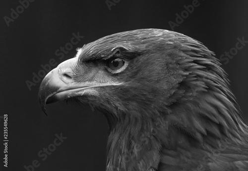 eagle portrait with black background;