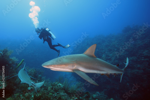 Canvas Print The Caribbean reef shark (Carcharhinus perezii) swims over reef in blue