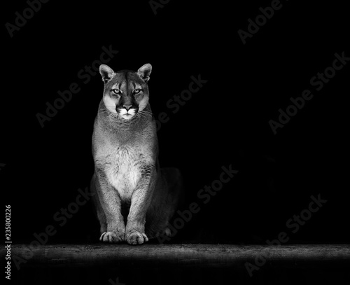 Vászonkép Portrait of Beautiful Puma, Puma in the dark. American cougar