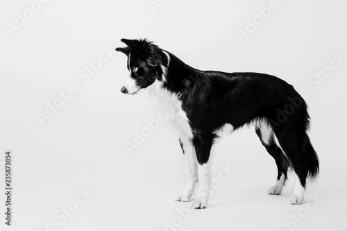 Obraz na plátne Border collie dog on white background
