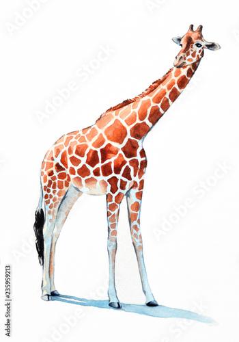 Fototapeta premium żyrafa ilustracja akwarela. ręcznie malowane zwierzę z zoo, długa szyja i duże pomarańczowe cętki i kopyta. Żyrafa jest izolowana na białym tle.