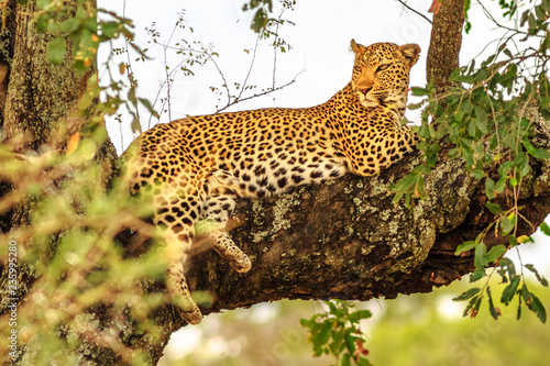 Side view of African Leopard species Panthera Pardus, resting in a tree outdoors. Big cat in Kruger National Park, South Africa. The leopard is part of the popular Big Five.