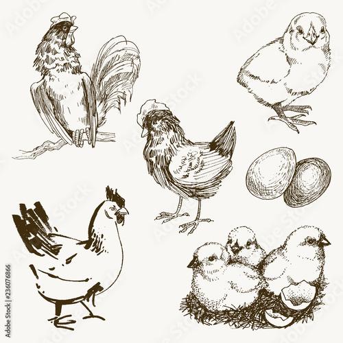 Photo Vector chicken breeding hand drawn set