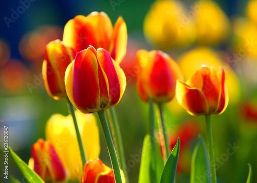 Plakat Tulipan w sezonie wiosennym w ogrodzie botanicznym