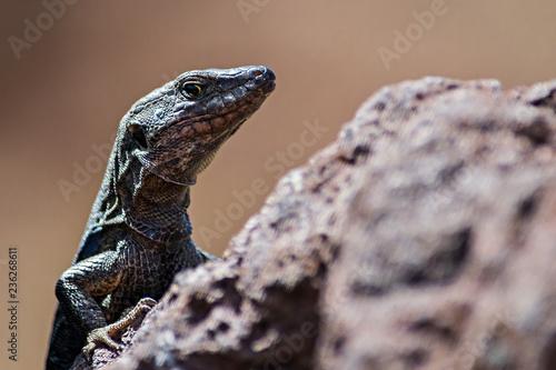 Fotografie, Obraz lizard on a rock