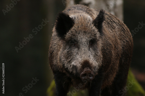 Fotomural Wild boar on a close up horizontal picture