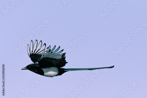 Wallpaper Mural Black-billed Magpie perched in the Rocky Mountains, Colorado