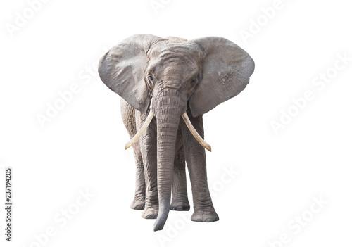 Fototapeta premium Słoń afrykański na białym tle