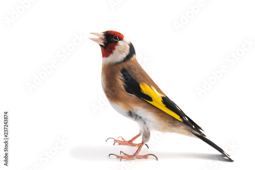European Goldfinch, carduelis carduelis, standing, isolated on white background Fototapet