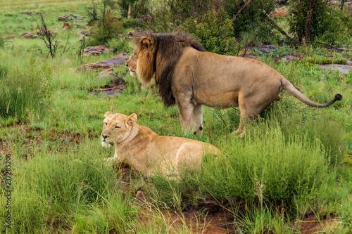 Leinwand Poster Lion in Welgevonden Game Reserve