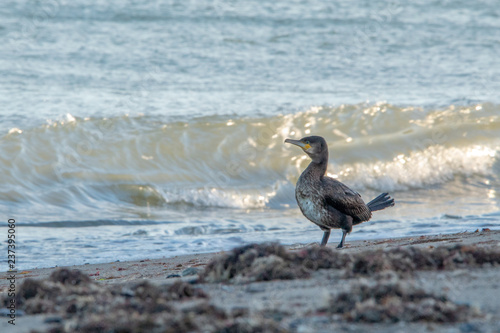 Cormorant Standing on Greystones Beach by the Waves Fototapet