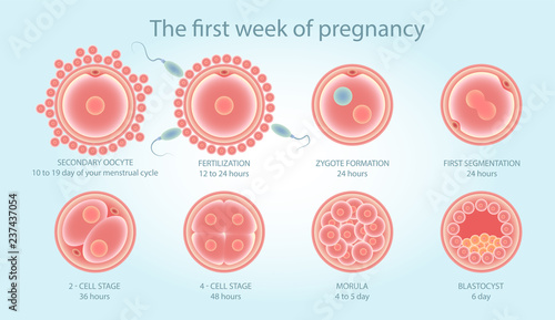 Fotografie, Obraz Stages of development of fertile cells