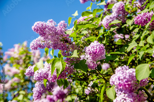 Pink lilac blooms in the Botanical garden