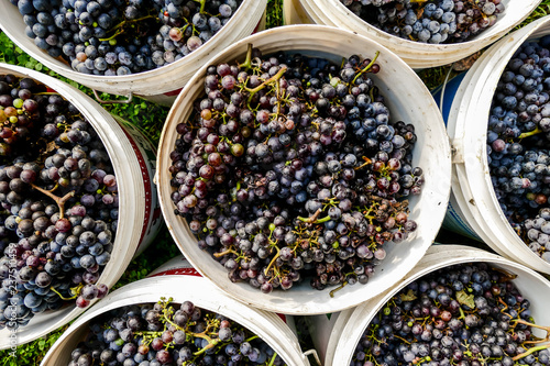 Carta da parati Grapes harvest of vineyard in september north italy, red grapes for wine