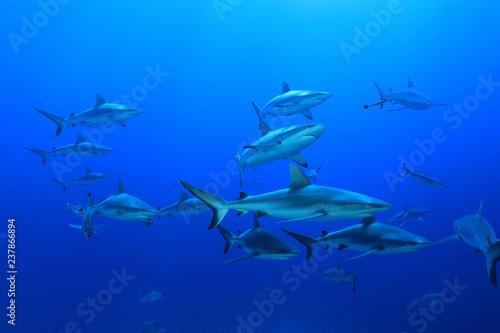 Fototapeta premium Szare rekiny rafowe