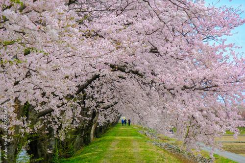ピンクの桜並木のトンネル