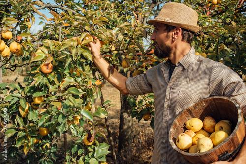 Man picking organic yellow pears
