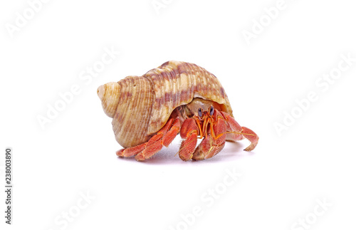 Fotografia Hermit crabs isolated on white background with selective focus
