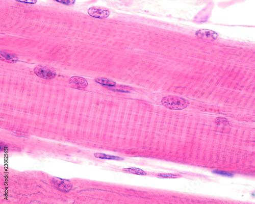 Fototapeta Striated skeletal muscle fibers