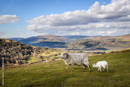 Fotografia Sheep and Lamb close up at the Welsh Countryside in Brecon Beacons, Wales