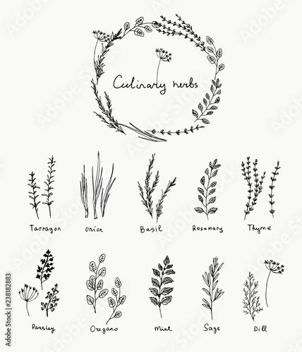 Obraz na plátně Hand drawn set of culinary herb
