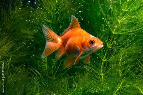 Fototapeta Goldfish