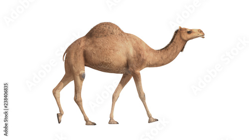 Canvas Print 3d render camel walking on white background