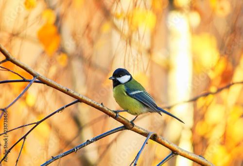 Fototapeta premium piękny mały ptak siedzący w słonecznym parku na brzozy z żółtymi jasnymi liśćmi jesienią