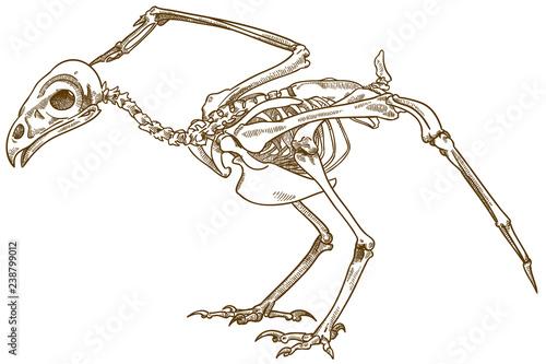 Fototapeta premium grawerowanie ilustracji szkieletu ptaka