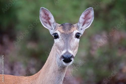 Canvas Print Texas white-tailed deer doe