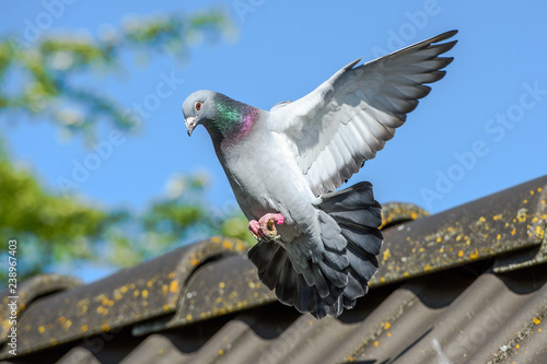 Foto Landing of racing pigeon with wigs spread wide