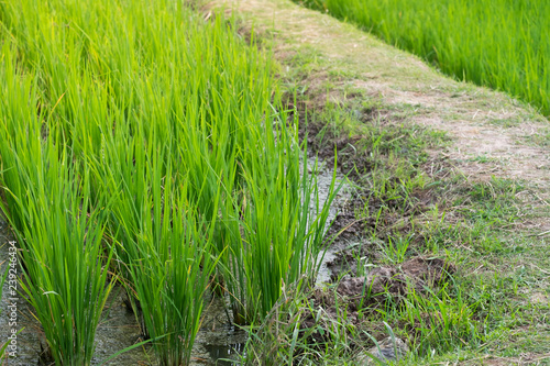 close up the green rice farm for background
