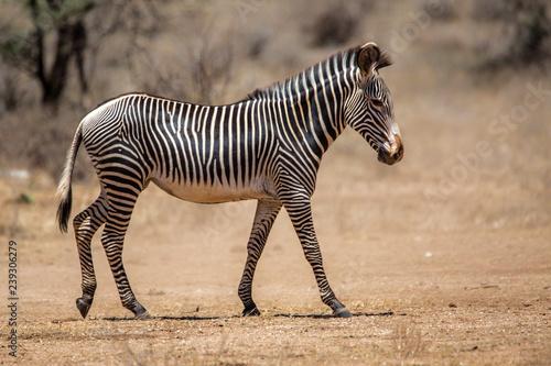 Fototapeta Grevy zebra in the dry Samburu National Park in Kenya