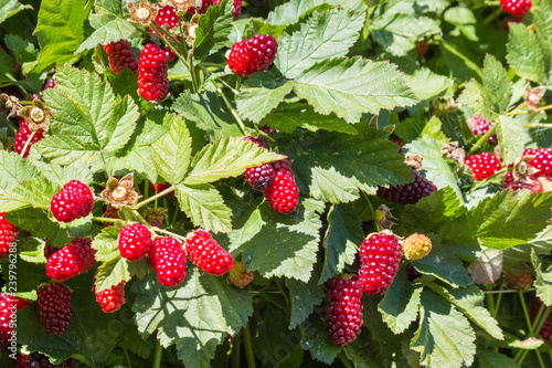 closeup of loganberry bush with ripe loganberries