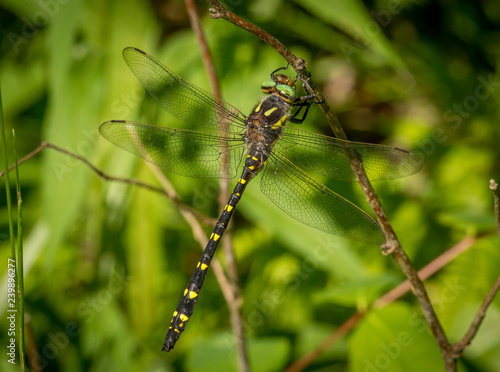 Twin-spotted Spiketail Dragonfly
