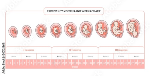 Obraz na plátně Pregnancy month, weeks and trimesters chart with stages of embryo development - infographic of process of human fetal growth in vector illustration isolated on white background