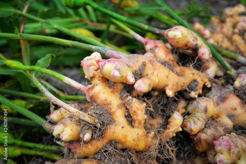 Fotografiet fresh ginger plant farm harvest ginger root plant on agricultural area
