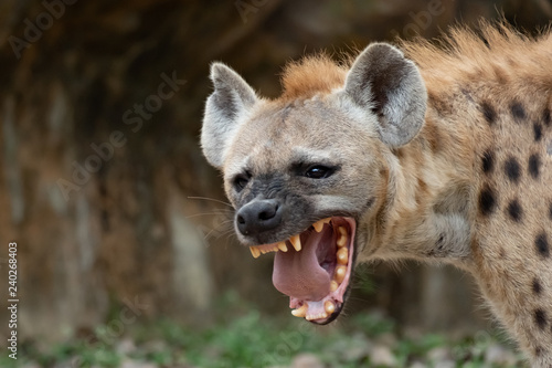 Fotografie, Tablou The hyena is Africa's most common large carnivore.
