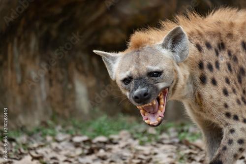 hyena Fototapet