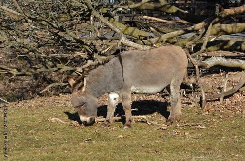 Fototapeta Donkey in pasture
