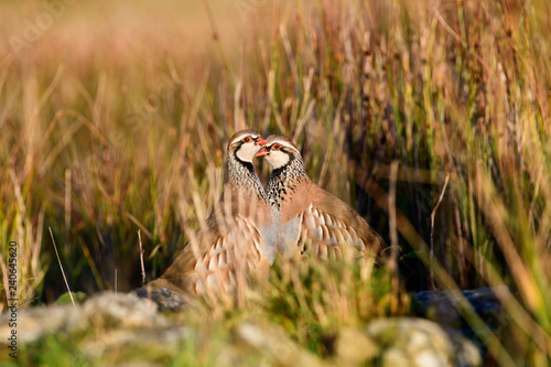 Obraz na plátně Wild Red-legged Partridge in natural habitat of reeds and grasses on moorland in