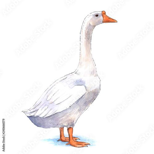 Farm goose watercolor illustration on white background Fototapeta